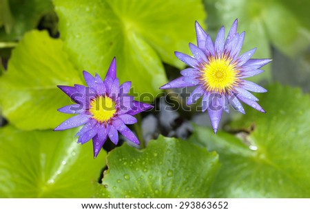 Purple Water Lily flowers blooming in the garden - stock photo