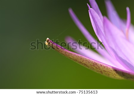Purple Water Lily Isolated - stock photo
