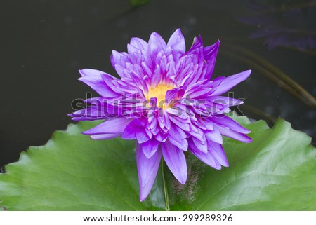 Purple waterlily named King of Siam or Chalong Kwan in the pond - stock photo