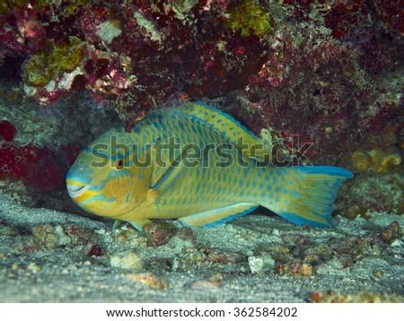 Purplestreak Parrotfish on coral reef background, Similan Island, Thailand - stock photo