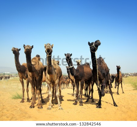 Pushkar Camel Fair - camels during festival in Pushkar