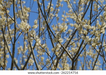 Pussy-willow branches in bloom over the blue sky. - stock photo