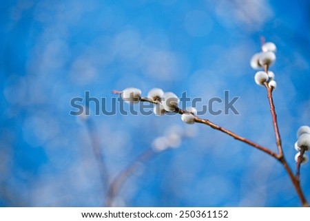 pussy willow branches with blue sky background, Soft floral spring frame with very shallow dof - stock photo