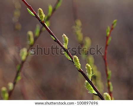 Pussy willow branches with catkins - stock photo
