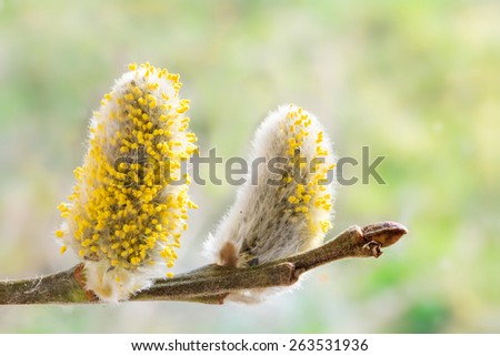pussy willow catkins with yellow pollen at a willow branch, close up - stock photo