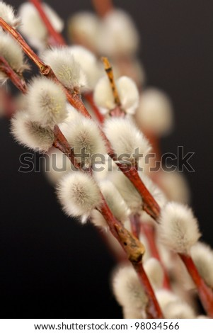 Pussy willow twigs isolated on black - stock photo