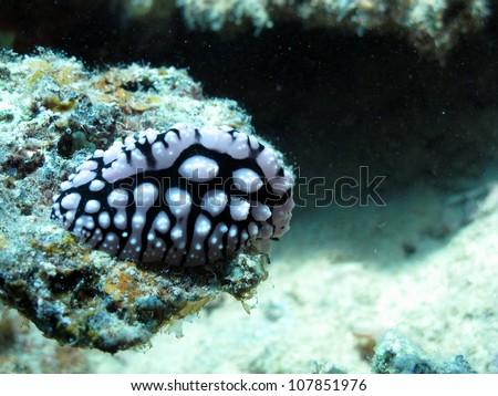 Pustulose wart slug (Phyllidiella pustulosa) - stock photo