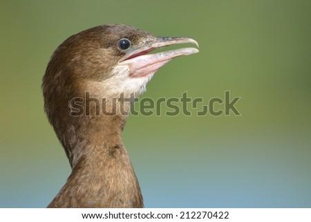 Pygmy Cormorant (Phalacrocorax pygmeus) Portrait - stock photo