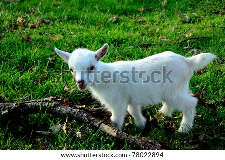 Pygmy goat kid, family farm, Webster County, West Virginia, USA