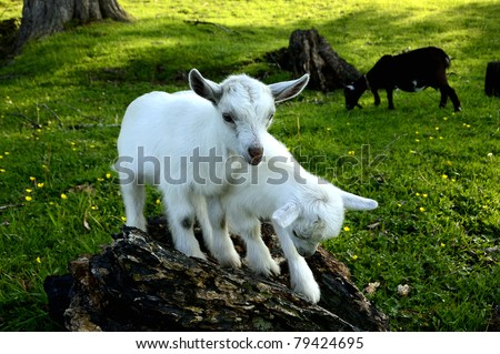 Pygmy goat kid twins playing on a stump, family farm, Webster County, West Virginia, USA