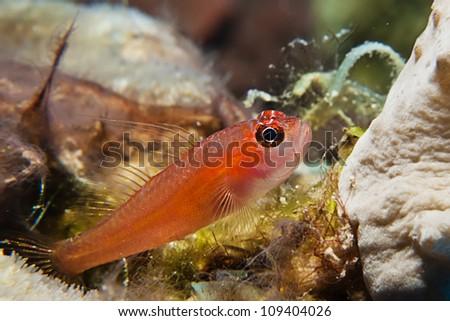 Pygmy goby - stock photo