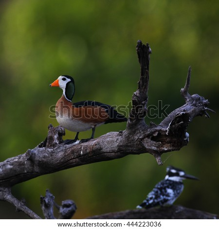Pygmy goose perched on branch - stock photo