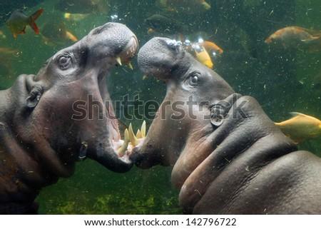 Pygmy hippopotamus in the zoo. - stock photo