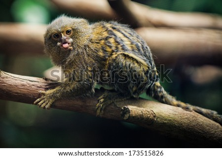 Pygmy Marmoset (The Smallest Monkeys in the World) closeup - stock photo