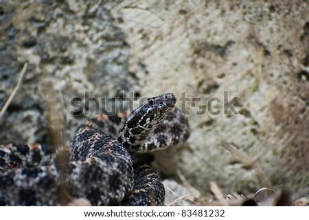 Pygmy Rattlesnake - stock photo