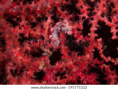 Pygmy Sea Horse in Pink - stock photo