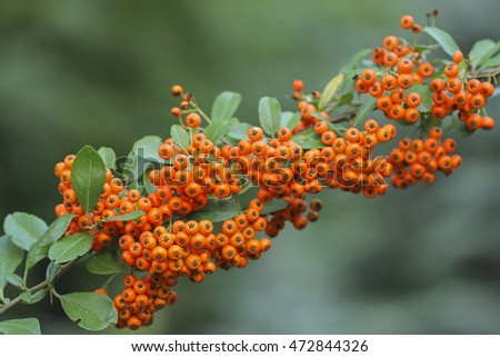 Pyracantha Firethorn orange berries with green leaves