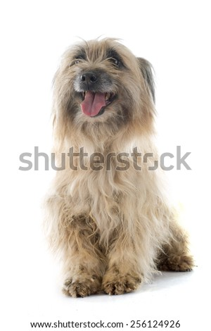 Pyrenean Shepherd in front of white background - stock photo