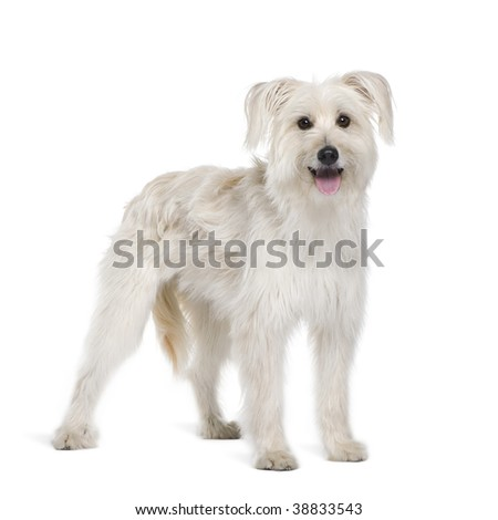 Pyrenean Shepherd, 2 years old, sitting in front of white background, studio shot - stock photo