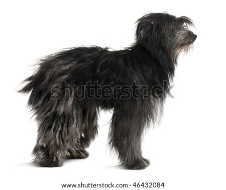 Pyrenean Shepherd, 2 Years Old, standing in front of white background - stock photo