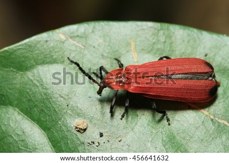 Pyrochroa coccinea Small insect in the garden Thailand - stock photo