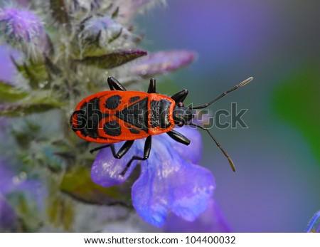 Pyrrhocoris apterus, Firebug - stock photo