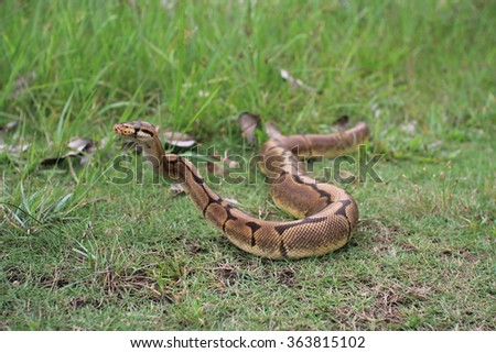 python looking for food at the open field