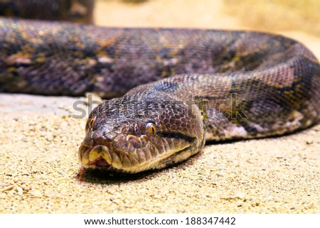 Python on a sand, captured with small depth of field - stock photo