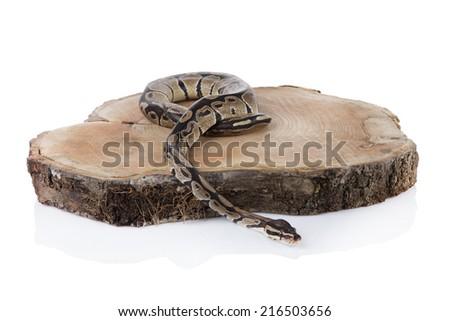 Python on the wood isolated white background - stock photo