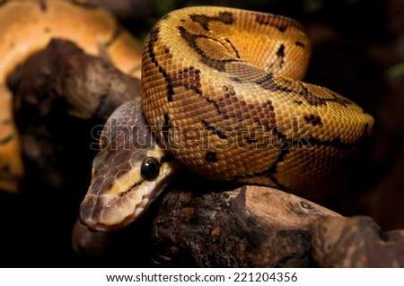 python on the wooden stick black background - stock photo