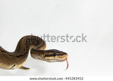 Python regius - A close up of a young pin striped ball python opening its mouth and sticking out it's tongue.  - stock photo