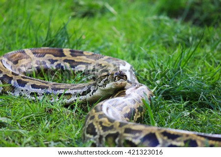 Python snake in the grass - stock photo