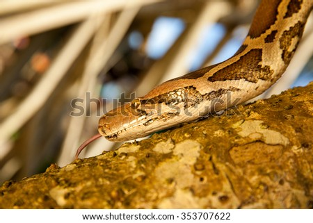 Python Snake wrapped around close-up a branch in natural habitats, wildlife , red list