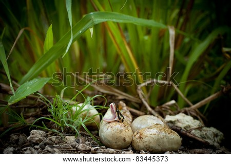 Pythons Hatching in Everglades - stock photo