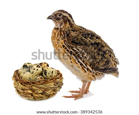 Quail and wooden basket with eggs isolated on white background