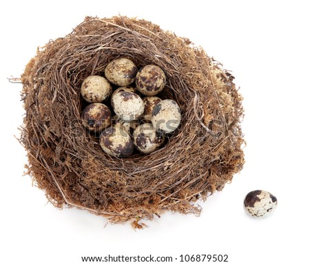 Quail egg clutch in a natural bird nest with one loose over white background. - stock photo