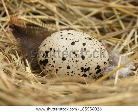 Quail egg in the in a birds nest with feathers close-up - stock photo