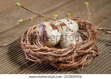 Quail eggs in the nest closeup - stock photo