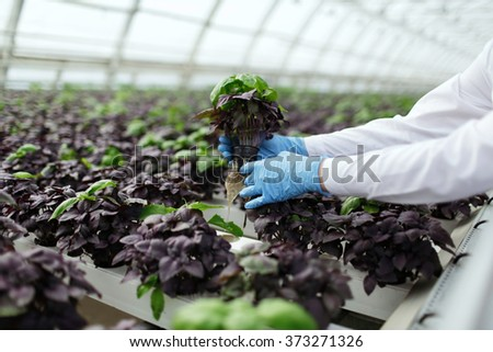 Quality control. Senior scientist or tech observes stselects new breed of basil optimized for consumption in greenhouse. Focus on the hand.  - stock photo