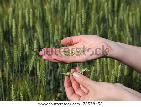 Quality of wheat inspecting, hands with fresh grain - stock photo