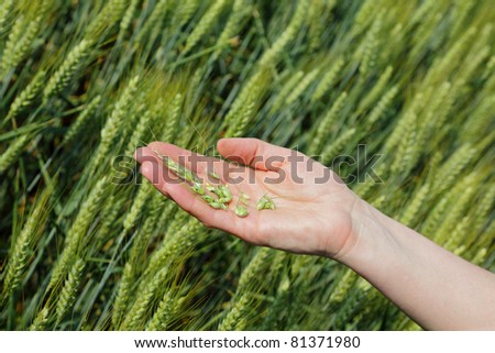 Quality of wheat inspecting, hands with fresh grain