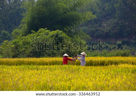 QUANG NGAI-VIETNAM. APRIL 22, 2014. A view of rice field in morning.