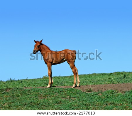 Quarter horse foal standing in a pasture on a summer day - stock photo