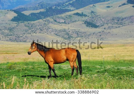 Quarter horse grazes in Paradise Valley, Montana.  Horse is brownish red with black mane and tail, including four black socks.  Gallatin mountains rise in background. - stock photo