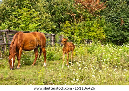 Quarter Horse mare with foal - stock photo