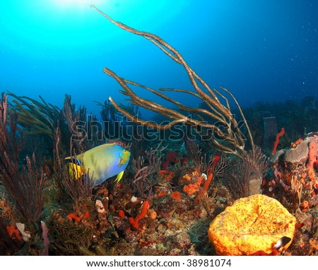 Queen Angelfish with gorgonian - stock photo