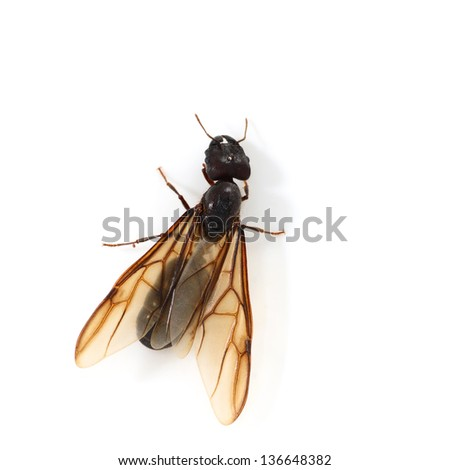 Queen ants isolated on white