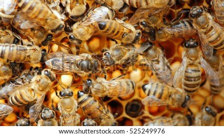 queen bee surrounded by bees: that support and feed