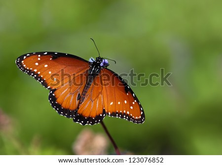 Queen butterfly (danaus gilippus) feeding on Gregg's Mist flowers. Natural green background with copy space. - stock photo