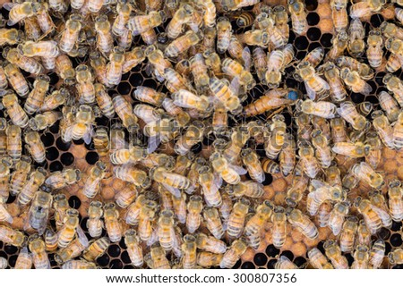 Queen honey bee laying eggs on frame  with capped and open brood, surrounded by worker bees. - stock photo